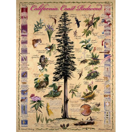 Events in the Life of a Coast Redwood